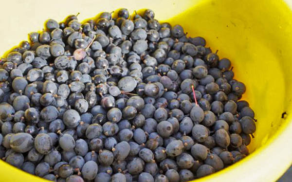 Ягоды барбариса для заготовки на зиму