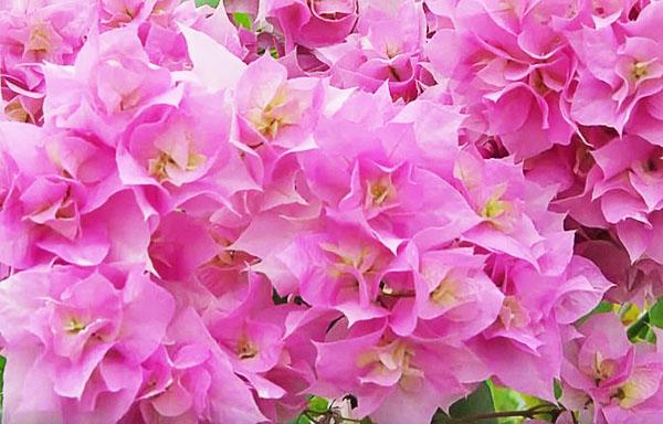 Цветки бугенвиллии