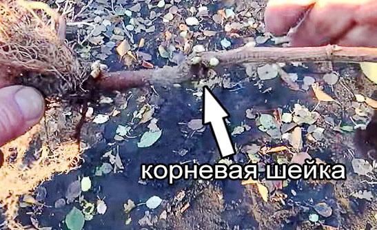 Корневая шейка саженца черной смородины