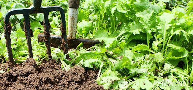 В предверии заморозков сидераты можно заделать в почву
