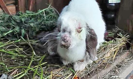 Кролик, после кокцидиоза