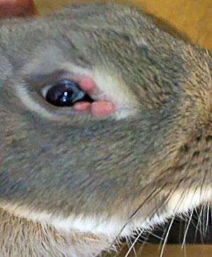 Кролик, больной миксоматозом