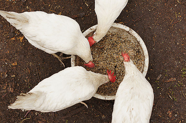 Куры клюют еду в тазу