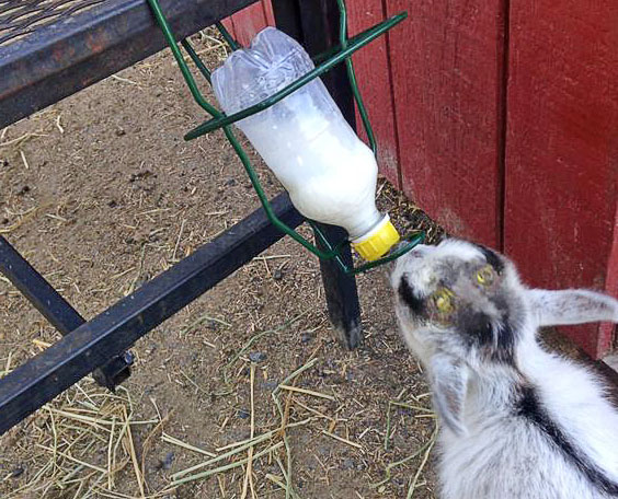 Козленок пьет молоко из бутылки с соской