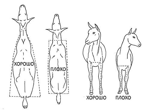 Признаки хорошей козы по форме тела