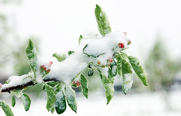 Ветка яблони в снегу
