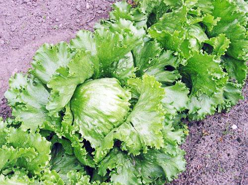Салат сорта Тарзан