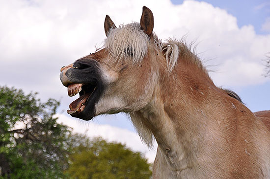 Лошадь оскалила зубы