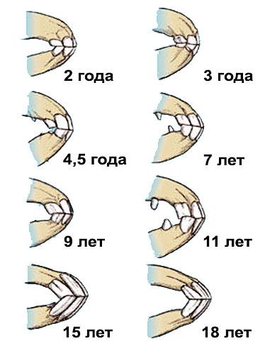 Как определить возраст лошади