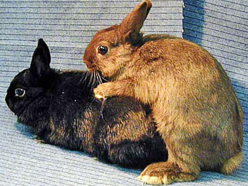 Кролики спариваются