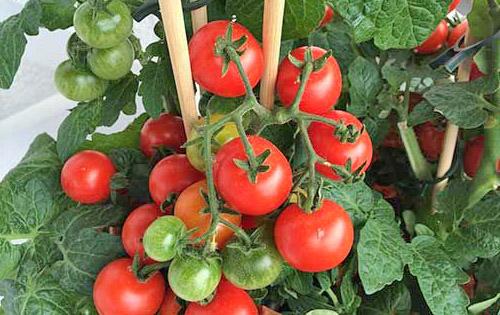 Куст помидоров с колышками