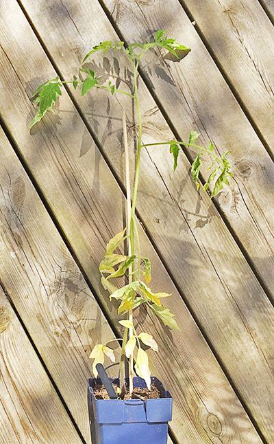 Вытянувшаяся рассада помидор
