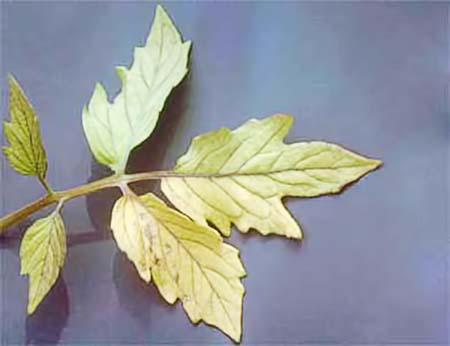 Симптомы нехватки растению азота