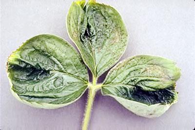 Симптомы нехватки растению кальция
