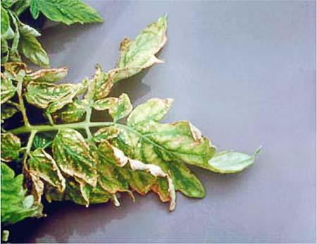 Симптомы нехватки растению калия
