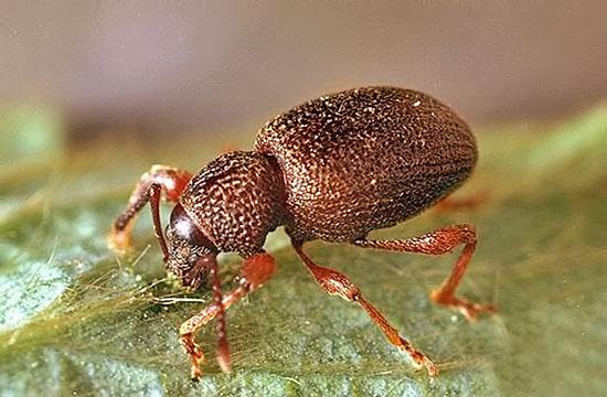 Долгоносик представляет собой маленького жучка серого или черного цвета