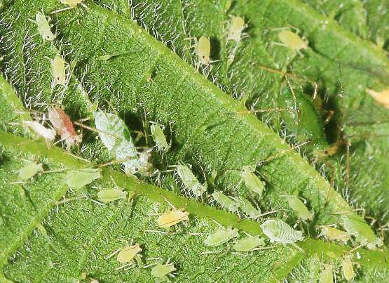 Тля на листьях садовой земляники , клубники