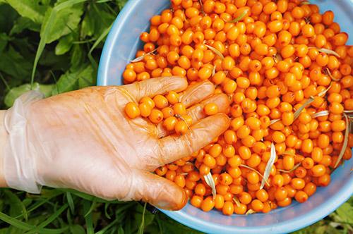 Женщина складывает ягоды облепихи в ведро