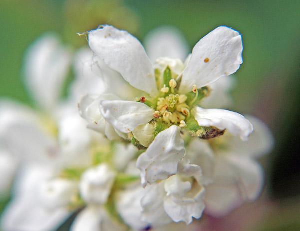 Цветок ирги