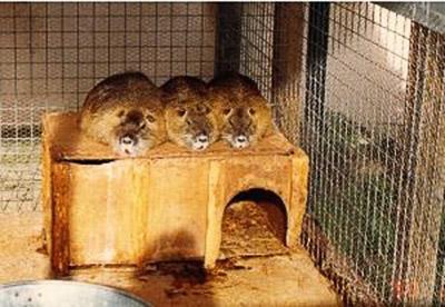 Три нутрии сидят на клетке