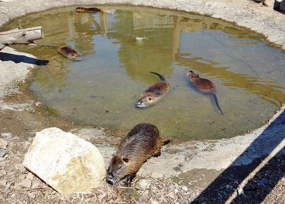 Нутрии в бассейне