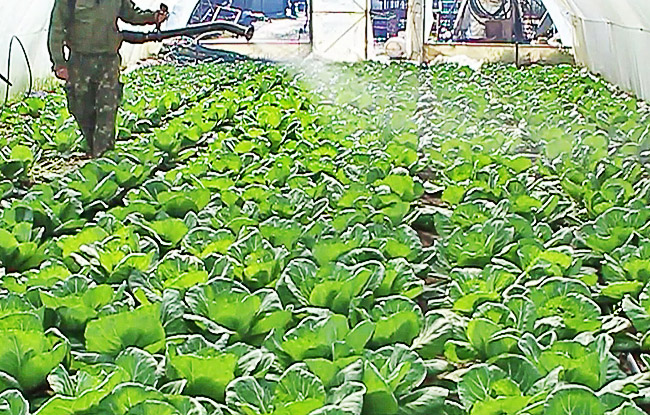 Орошение капусты в теплице