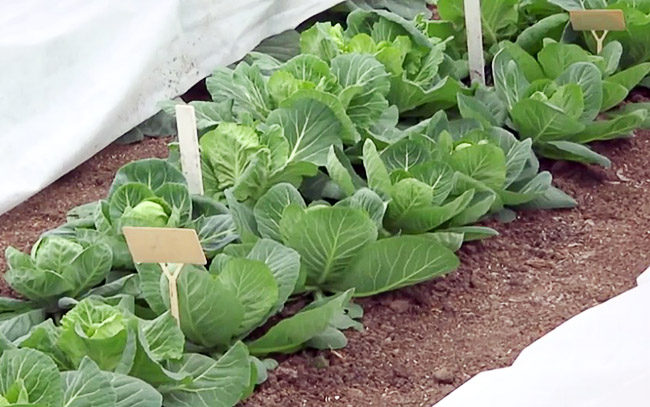 Капуста, выращиваемая в теплице