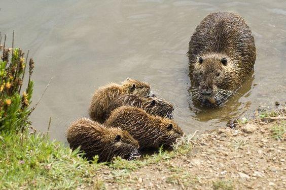 Нутрия с детенышами на берегу водоема