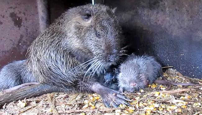 Самка нутрии после родов с потомством