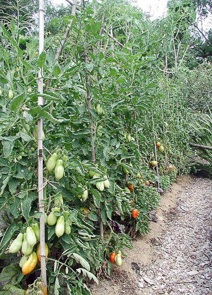 Индетерминантный сорт томатов в теплице